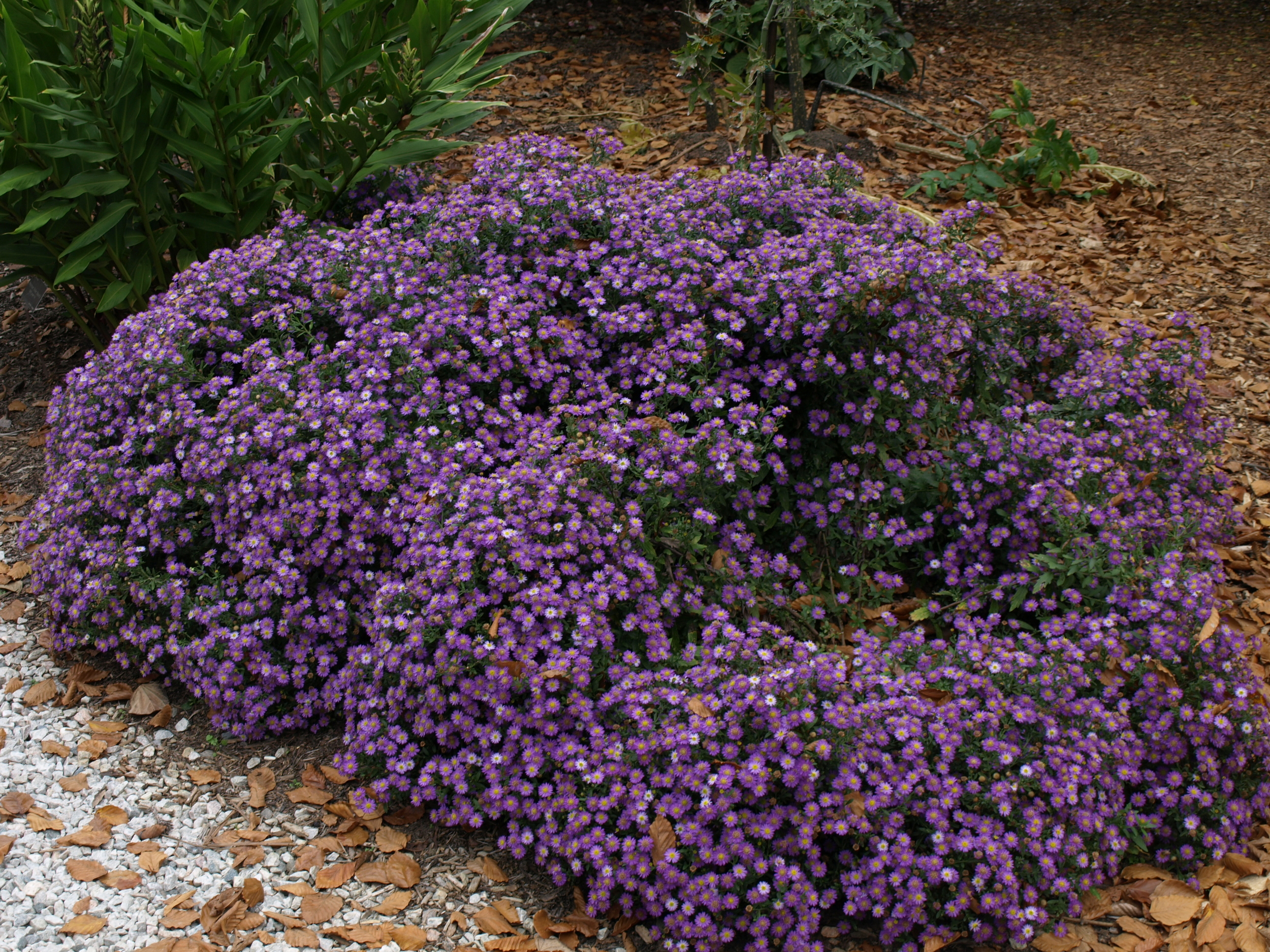 Simply stunning in fall, makes a great ground cover in sun to part shade.