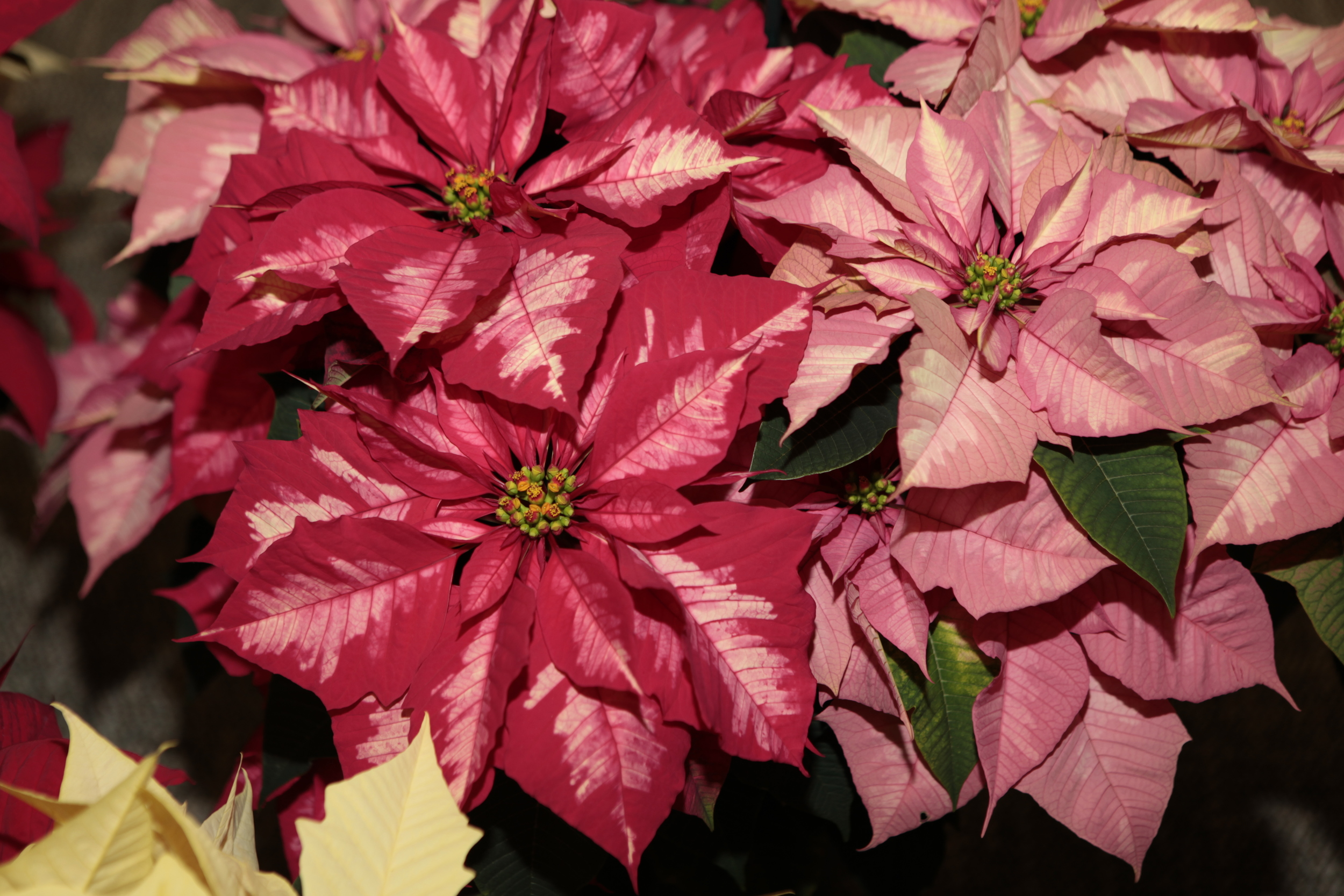 The diversity of new poinsettias is amazing to see.