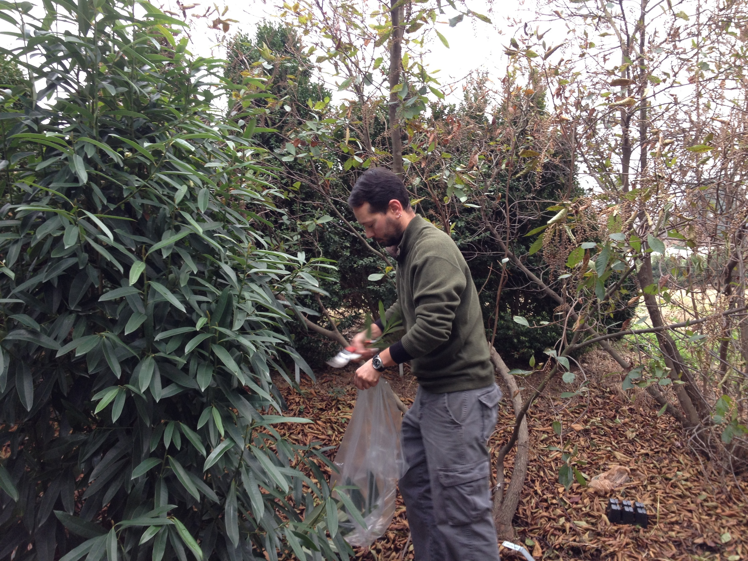 Graduate student Dominic Gillooly collecting a couple hundred cuttings of Magnolia yuyuanensis for a research project.
