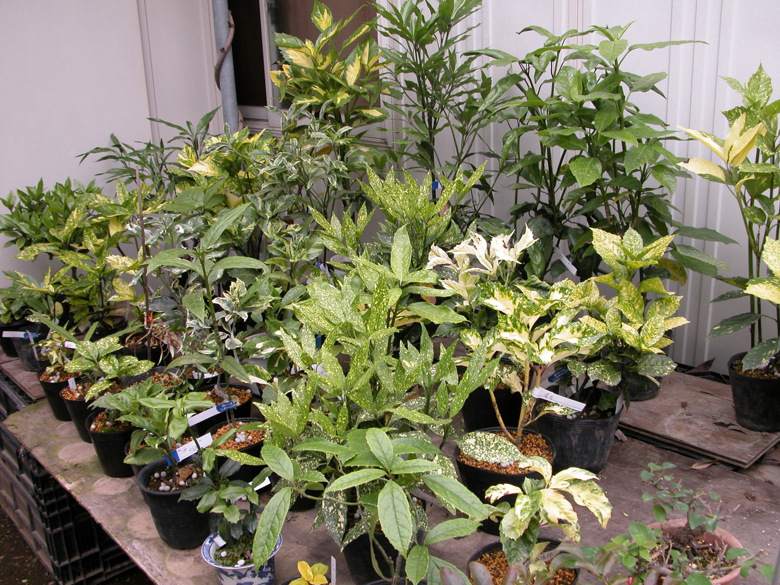 An impressive collection of aucuba in Japan at Garden Kinosata