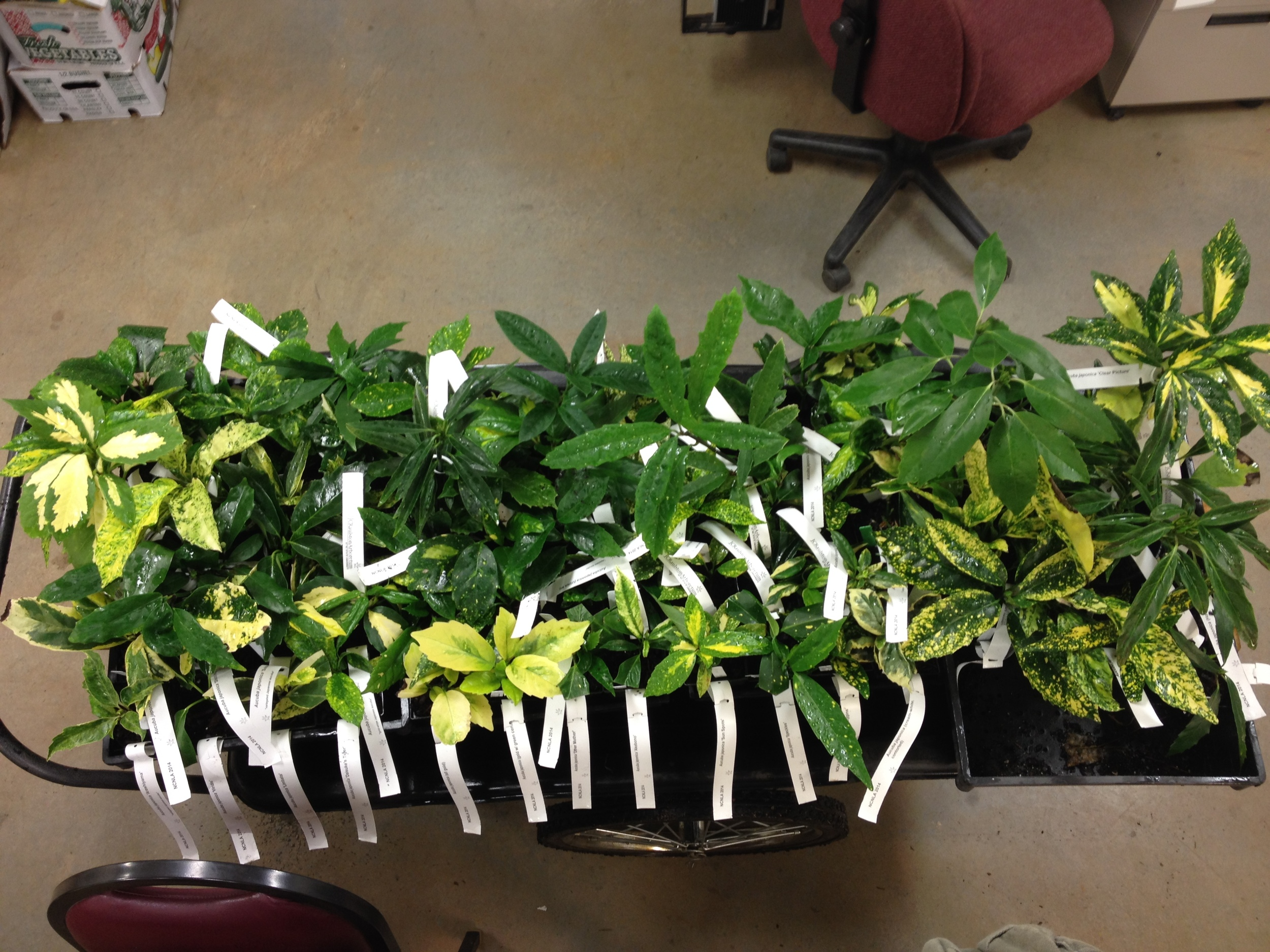 A selection of almost 80 Aucuba from the JC Raulston Arboretum to be displayed at the NCNLA Winter Trade Show.
