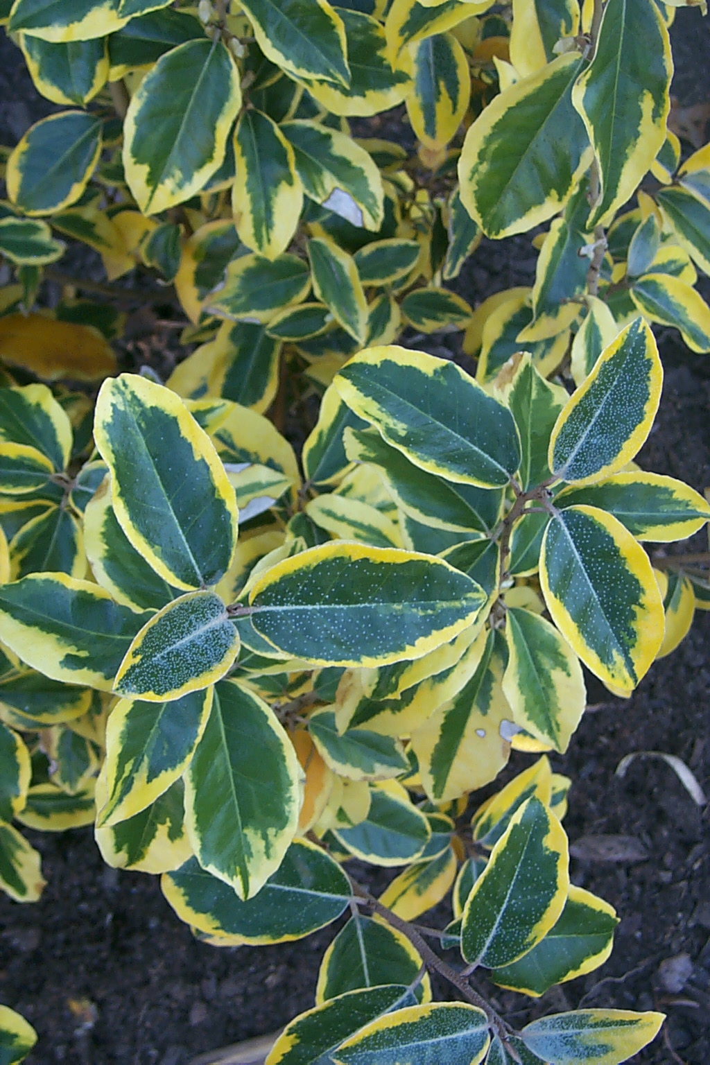 Elaeagnus ×ebbingei 'Gilt Edge' is a hybrid between E. macrophylla and E. pungens with a regular, narrow yellow margin to each leaf.