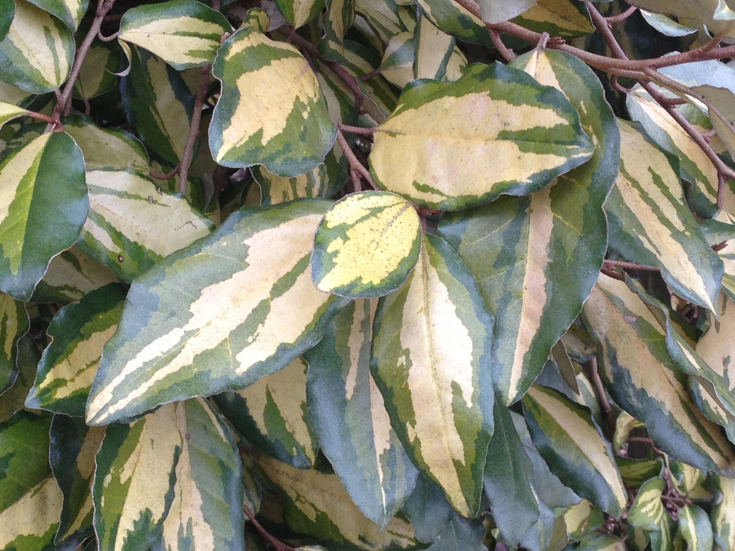 Elaeagnus ×ebbingei 'Lannou' (Gold Splash™) has a creamy yellow central blotch often approaching white on mature foliage.