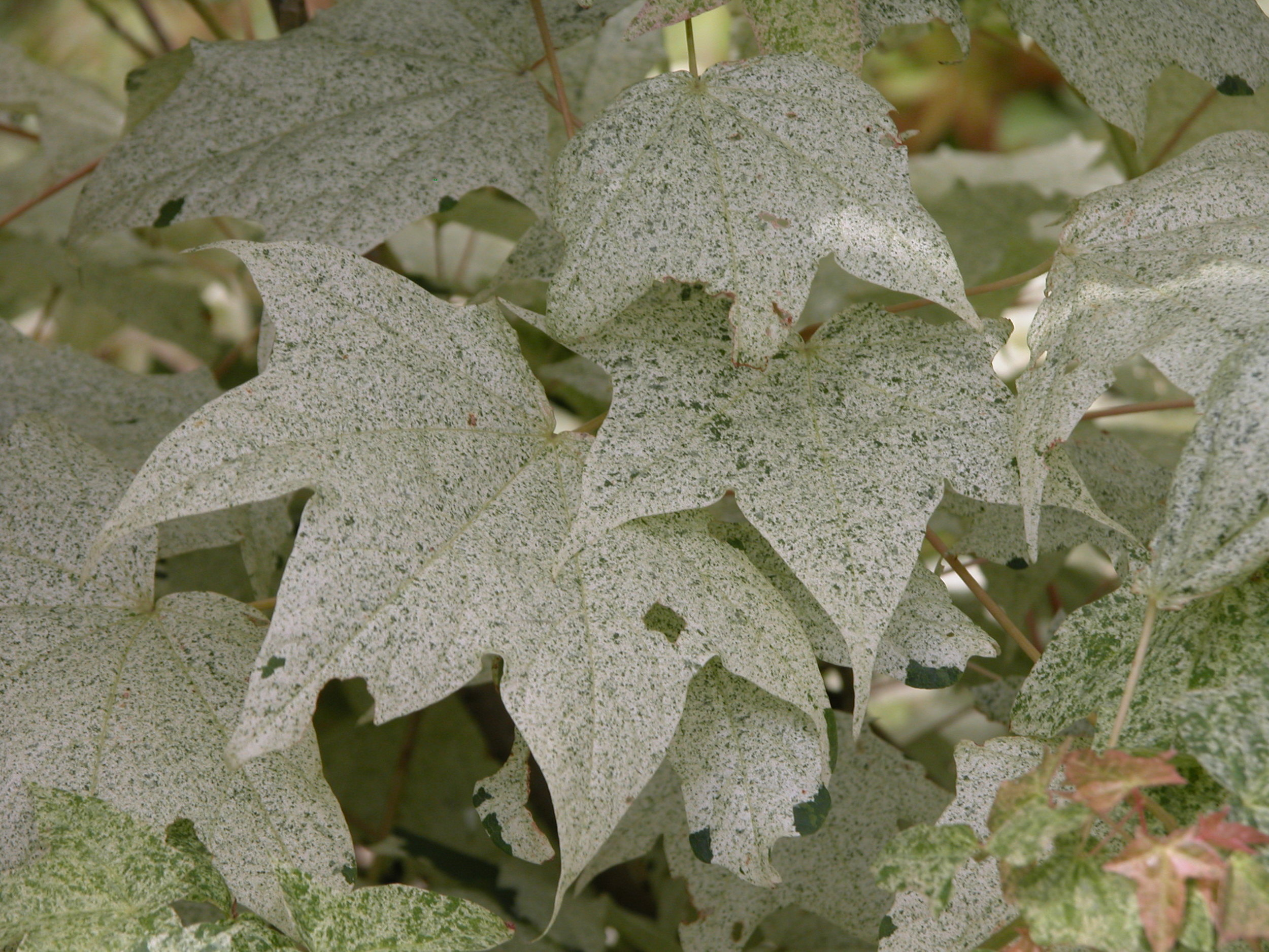 The drool-worthy speckled foliage of Acer pictum 'Naguri Nishiki'.