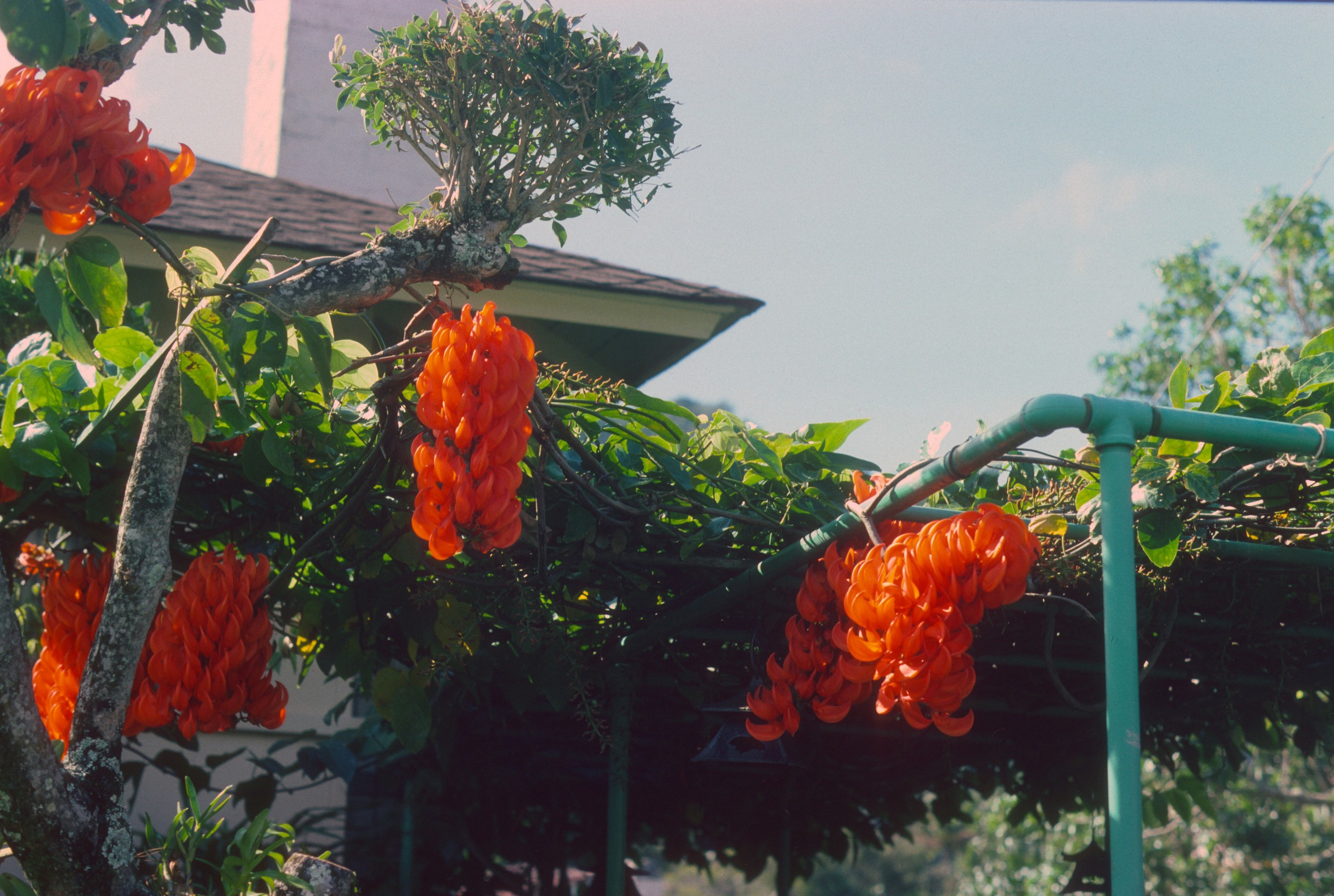 Mucuna bennettii, a tropical vine, growing over shrubs and an arbor in Hawai'i.