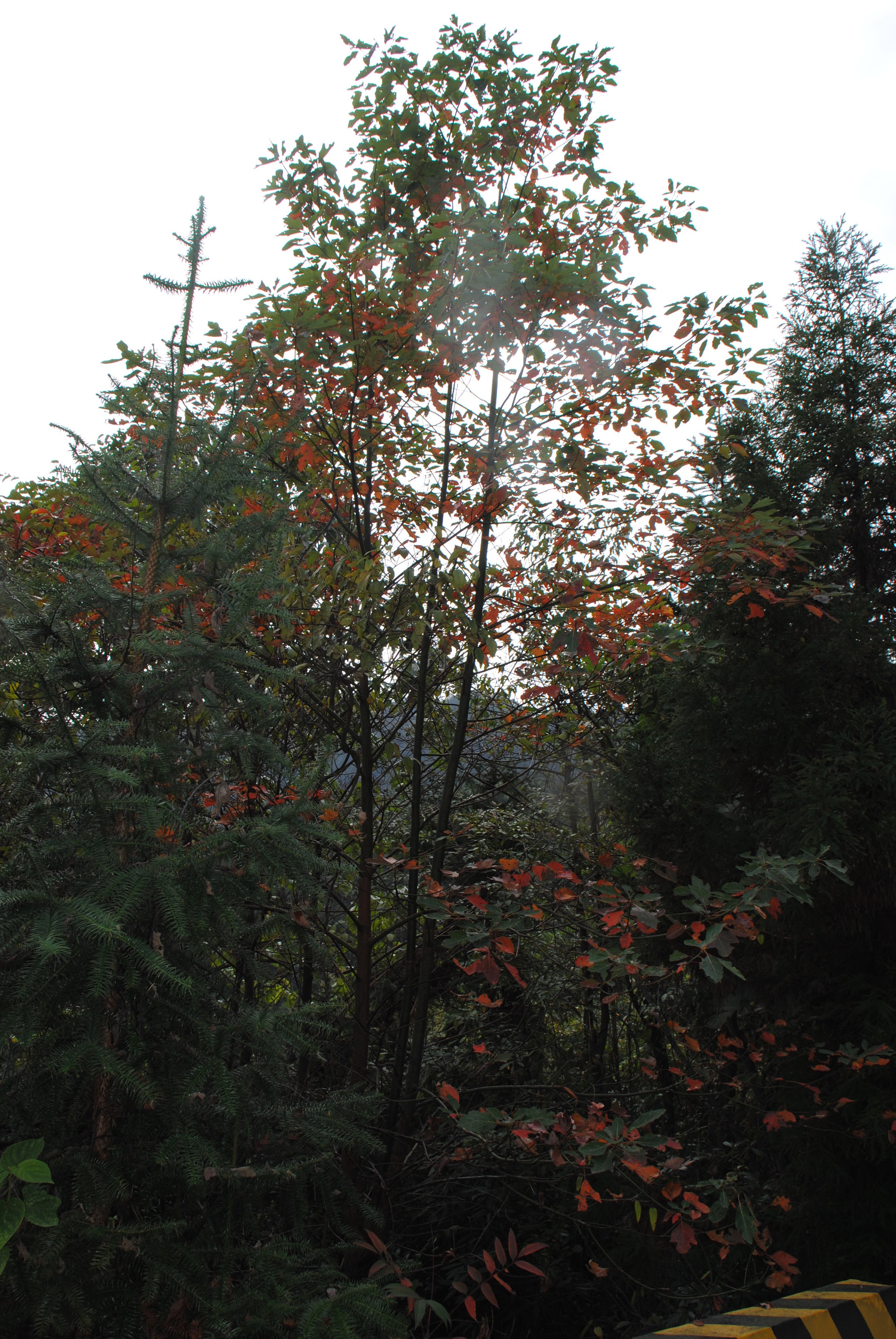 Sassafras tzumu growing wild in the Nanling Mountains in China.