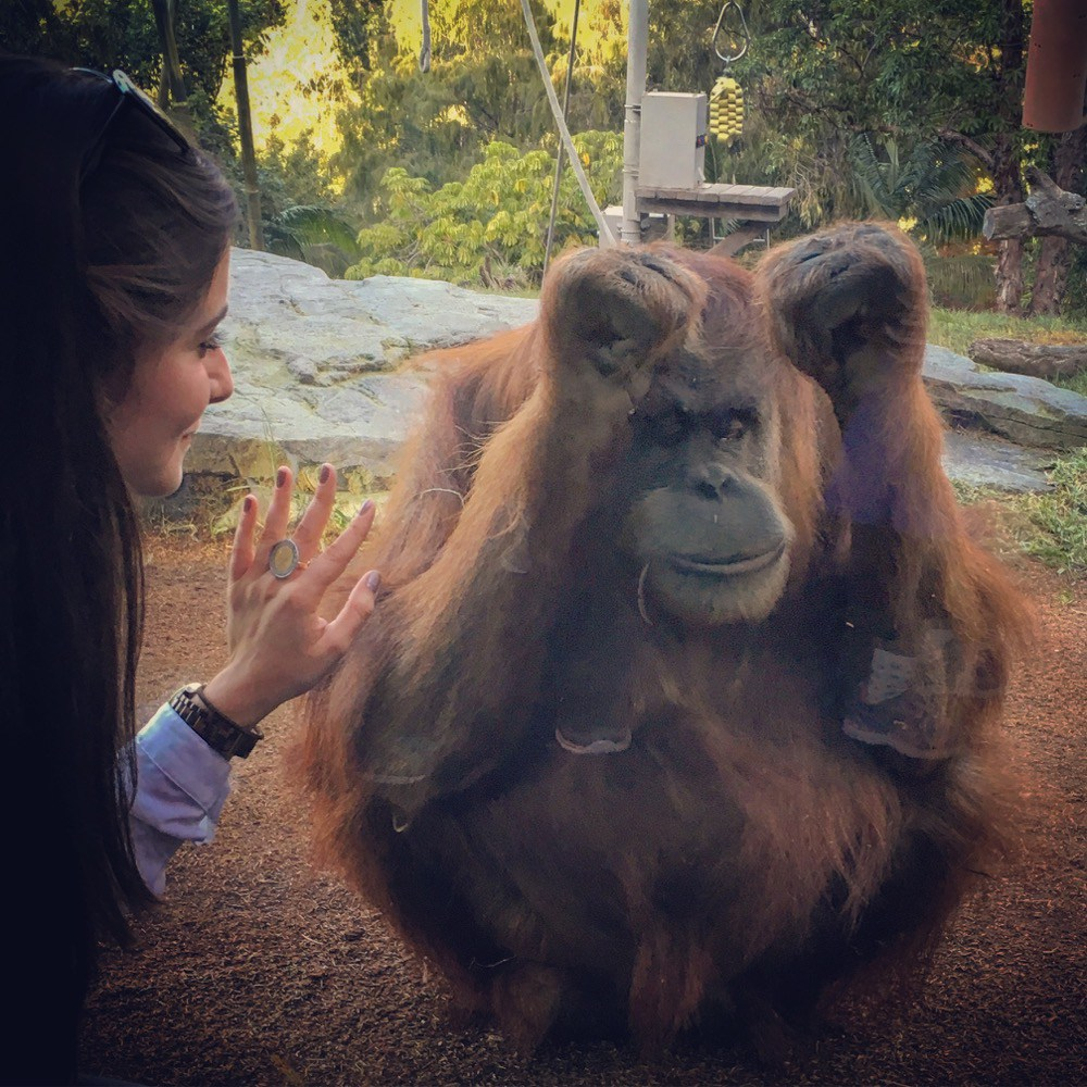 Karen, the orangutan at San Diego Zoo who famously survived open heart surgery at age 2. She likes to come up to the glass and interact with visitors.