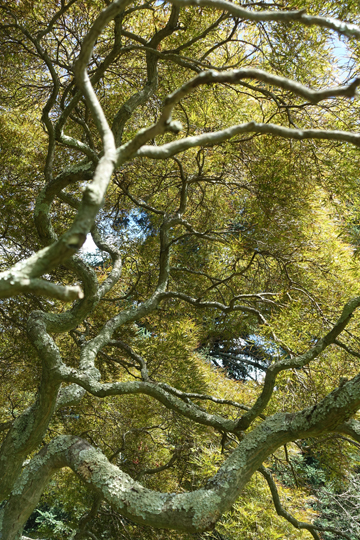 "The amazing Spider Leaf Maple (Acer palmate ""Ornatum') not far from the front door of Coe Hall."