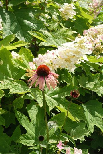 Oak Leaf Hydrangea and Echinacea