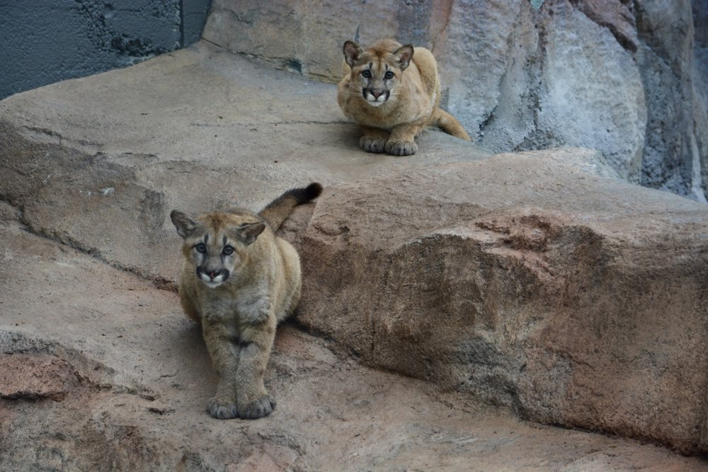The newest inhabitants at the EcoTarium Museum: wild cat siblings.