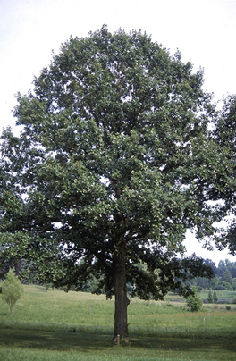 Swamp White Oak. Photo: Ohio DNR