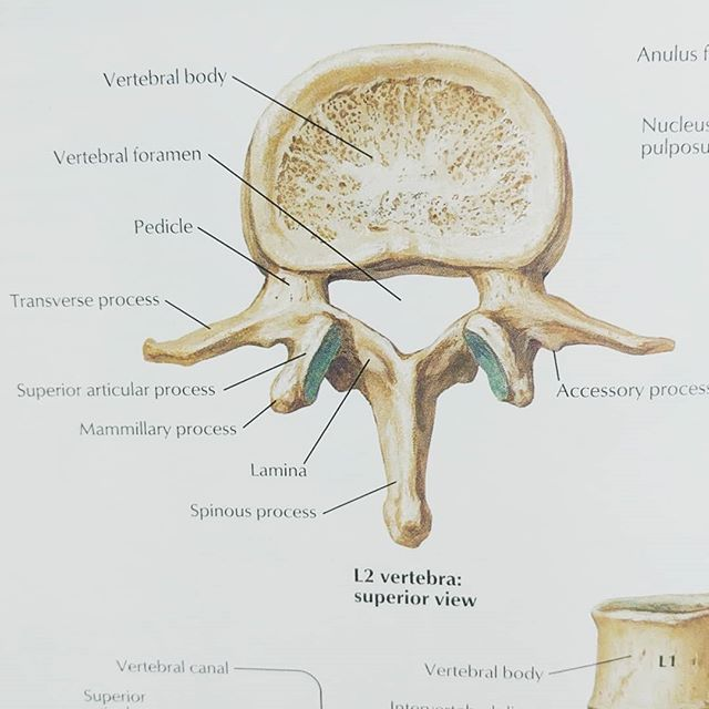 Lumbar spine, or in laymen's terms, the low back. Here the spine curves inward toward the abdomen, known as a lordotic curve. Composed of 5 complex and strong vertebrae, they support the weight of the entire upper body.  The spine is a resilient and flexible structure with the lumbar region being the strongest and least mobile section. . . . . . #halifax #anatomy #massage #wellness #spine #lumbar #vertebrae #massagetherapy #lowback #health #move