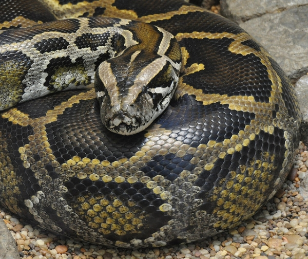 Nobby the Snake