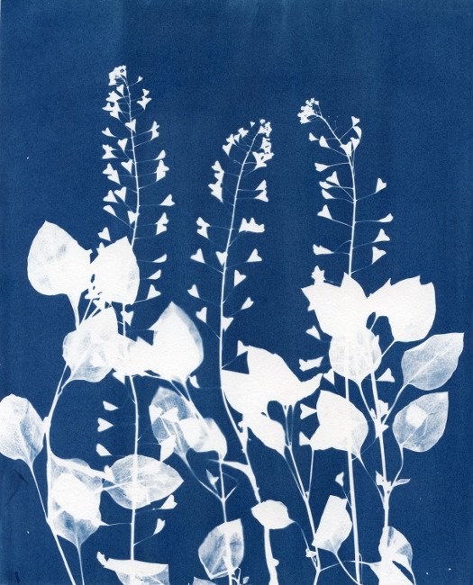 Botanical Cyanotype Photogram