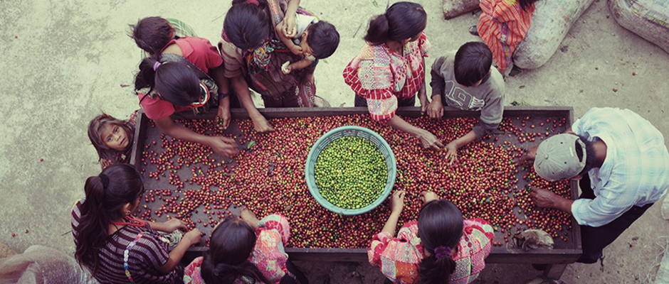 Guatemalan Coffee Harvest Celebration