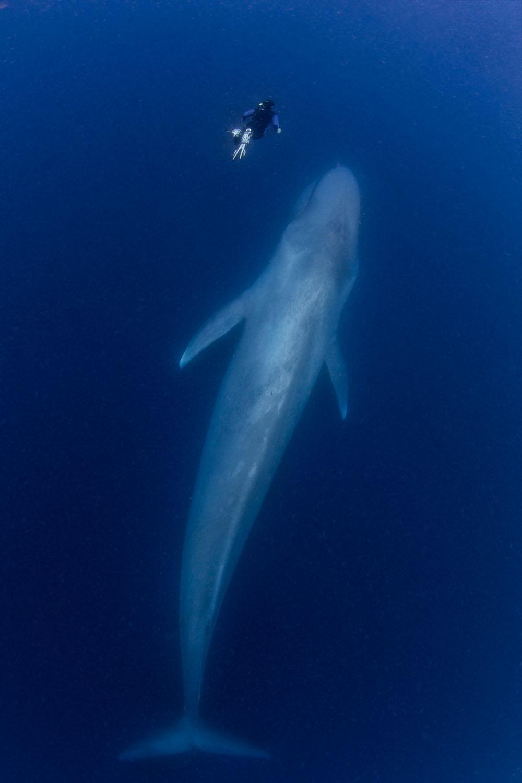 blue-whale-scale.jpg