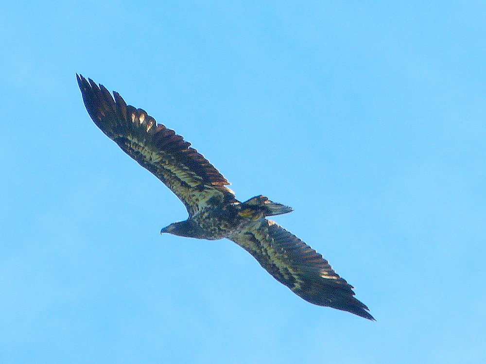 A golden eagle soaring above the Nisutlin River.