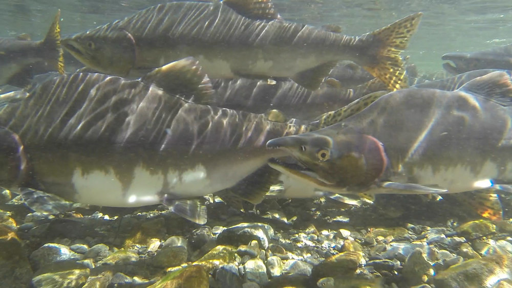 Pink salmon running up the creek to spawn. Photo credit: Liz McKenzie.