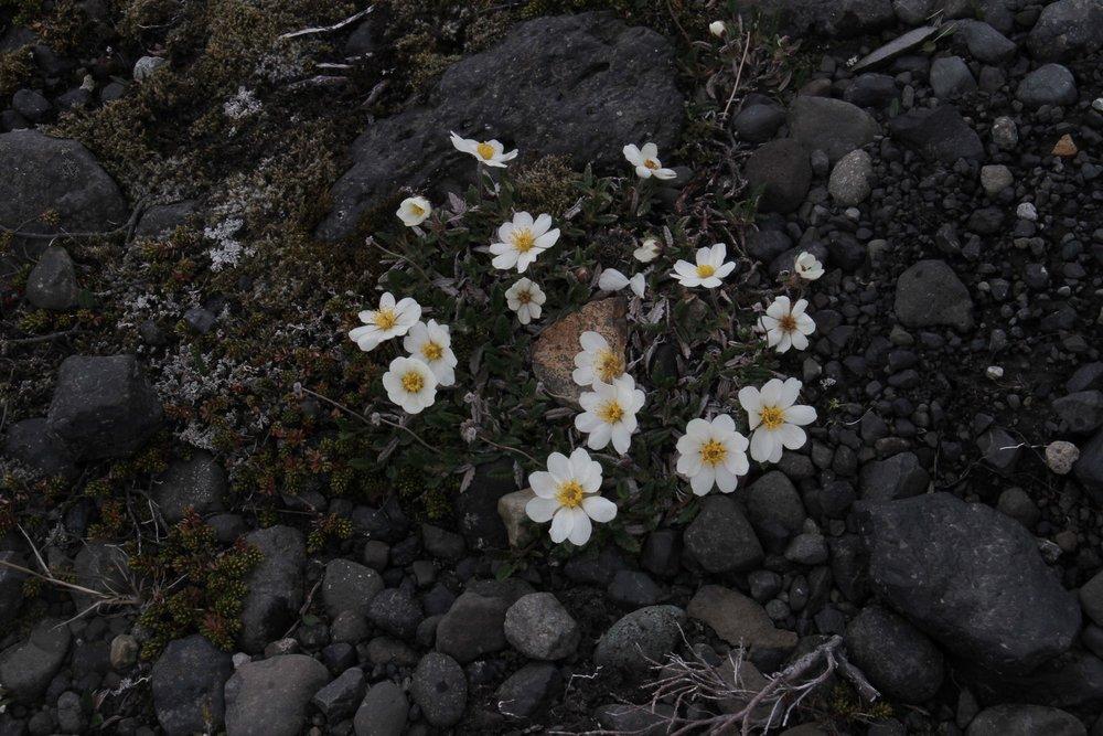 Iceland flower