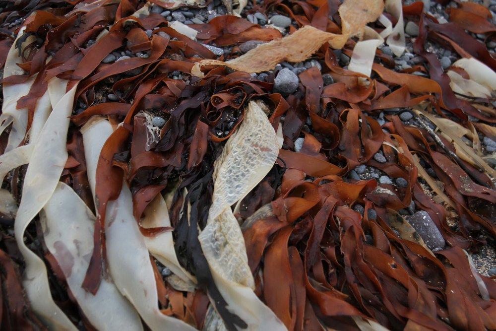 Iceland seaweed