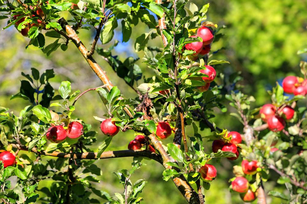 Epler i hagen til Kystmuseet på Hvaler