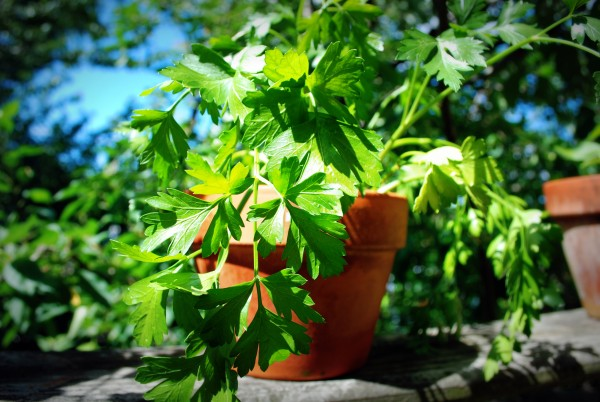 MeatlessMonday_Argentina_Chimichurri_Parsley_Garden-TheWiseLatinaClub-NatalieFierro