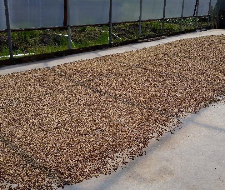 The sun-dried coffee parchment