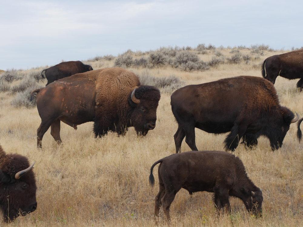 Where the Buffalo Roam..., photo by Jade Begay
