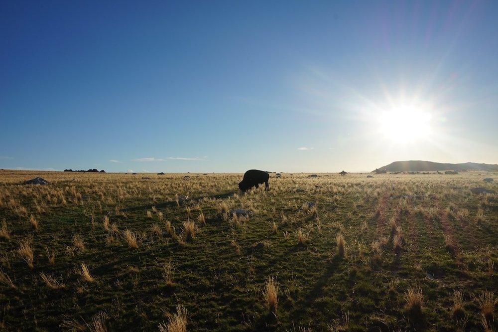 Where the Buffalo Roam (1) (2).jpg