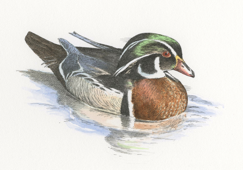 Mallard Duck finish005.jpg
