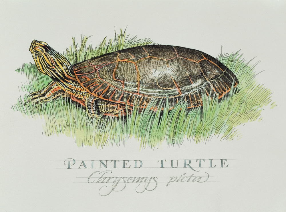 painted turtle wb.jpg