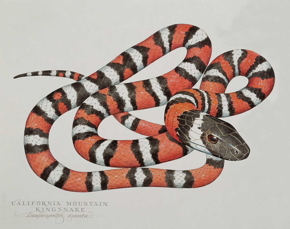 California Mountain Kingsnake wb.jpg