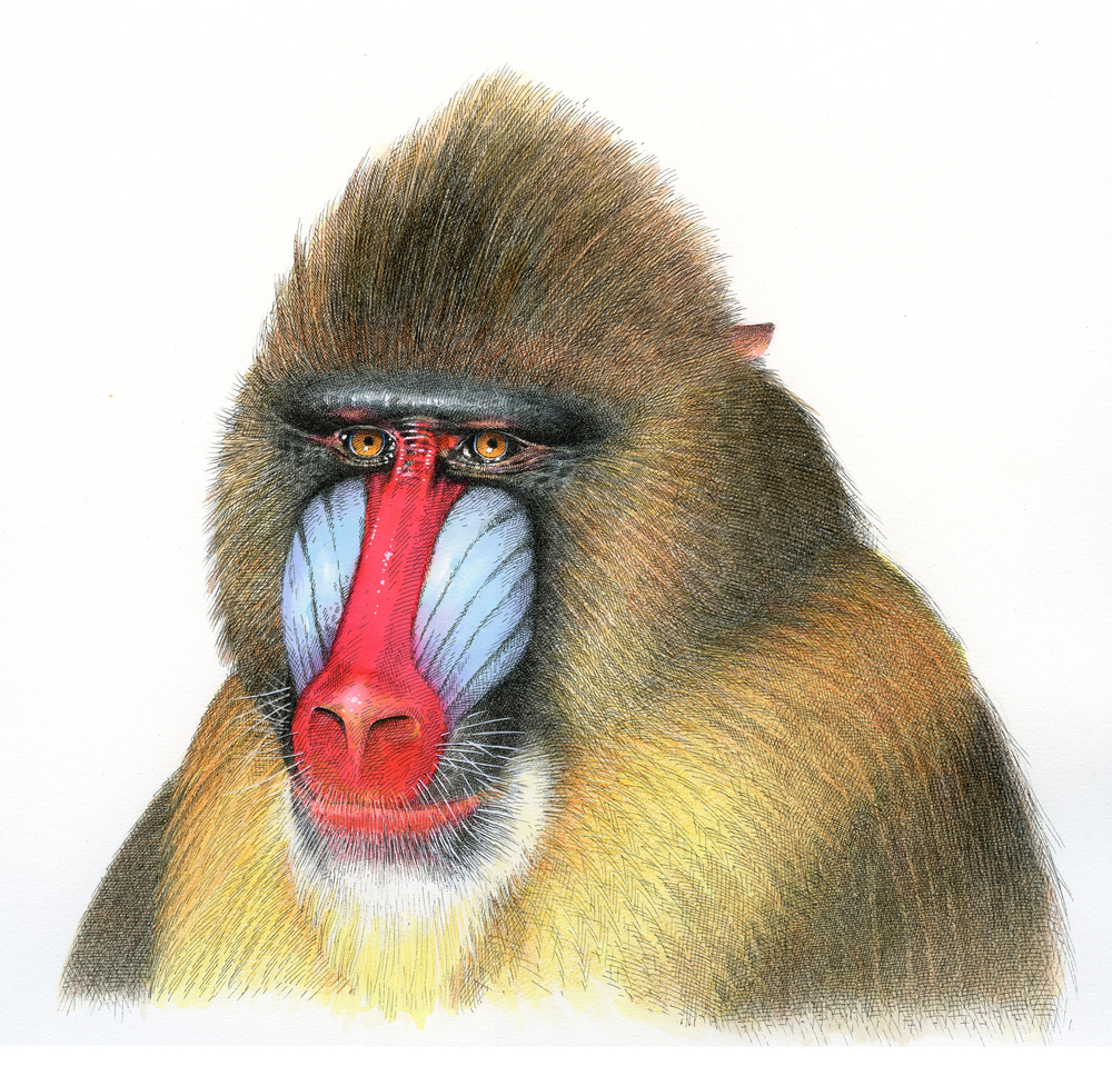 Mandrill finish wb.jpg