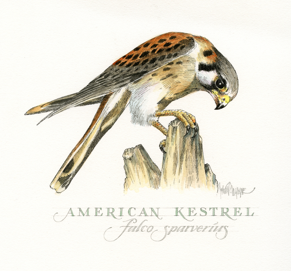 American Kestrel finish wb.jpg
