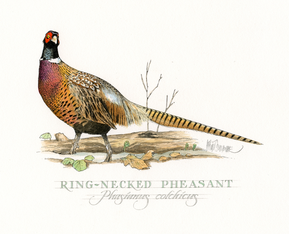 Ringed Neck Pheasant finish wb.jpg