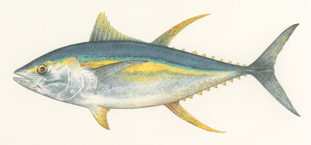 Yellowfin Tuna finish300dpi002.jpg