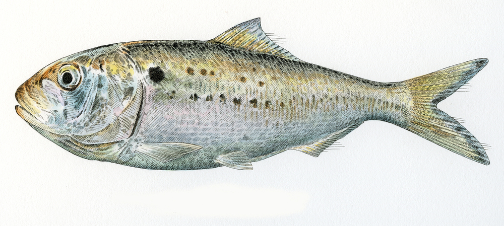Menhaden finish wb.jpg
