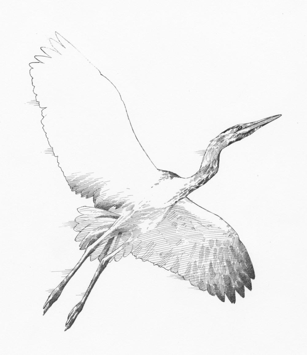 Heron (grayscale)044.jpg