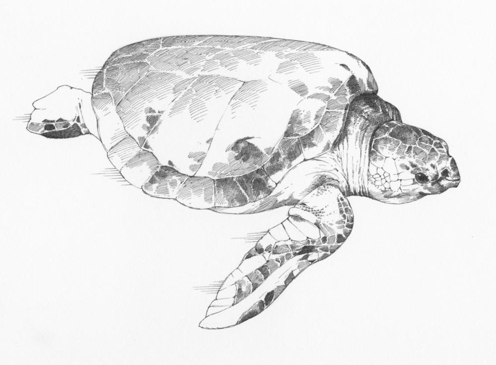 turtle (grayscale)045.jpg