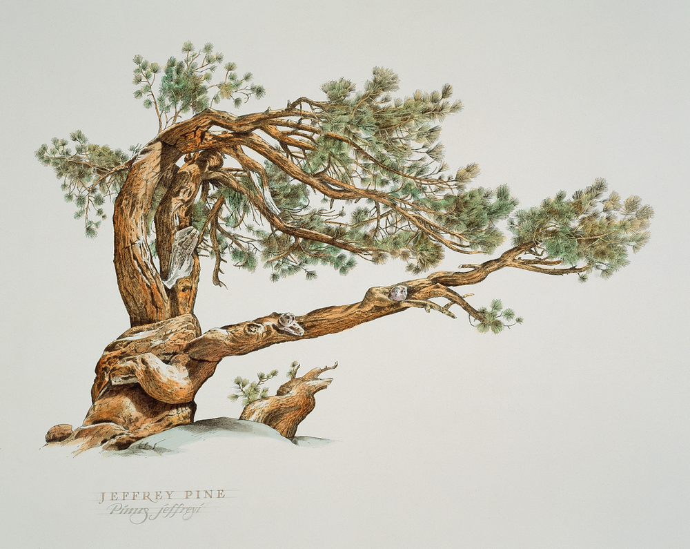 Jeffrey Pine wb.jpg