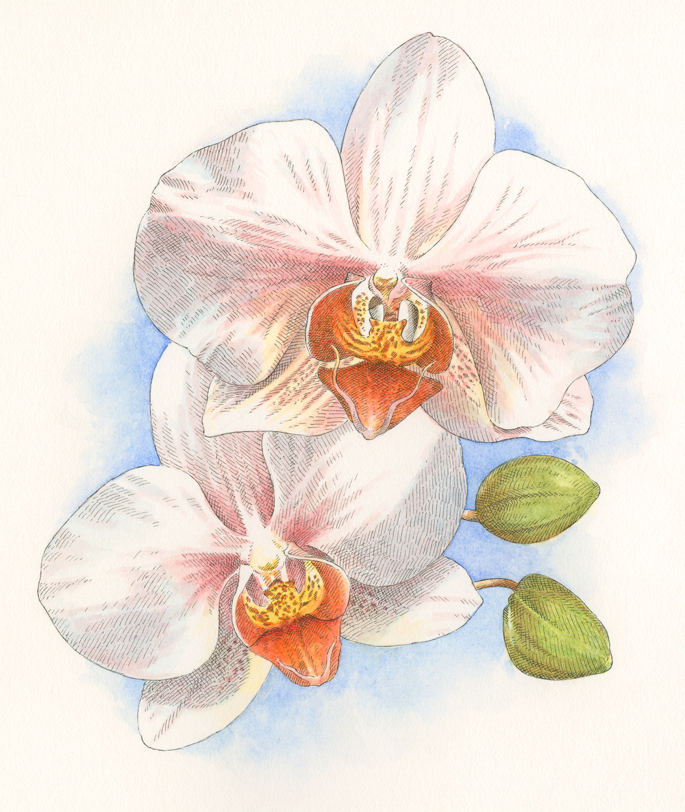 Moth Orchid finish001.jpg