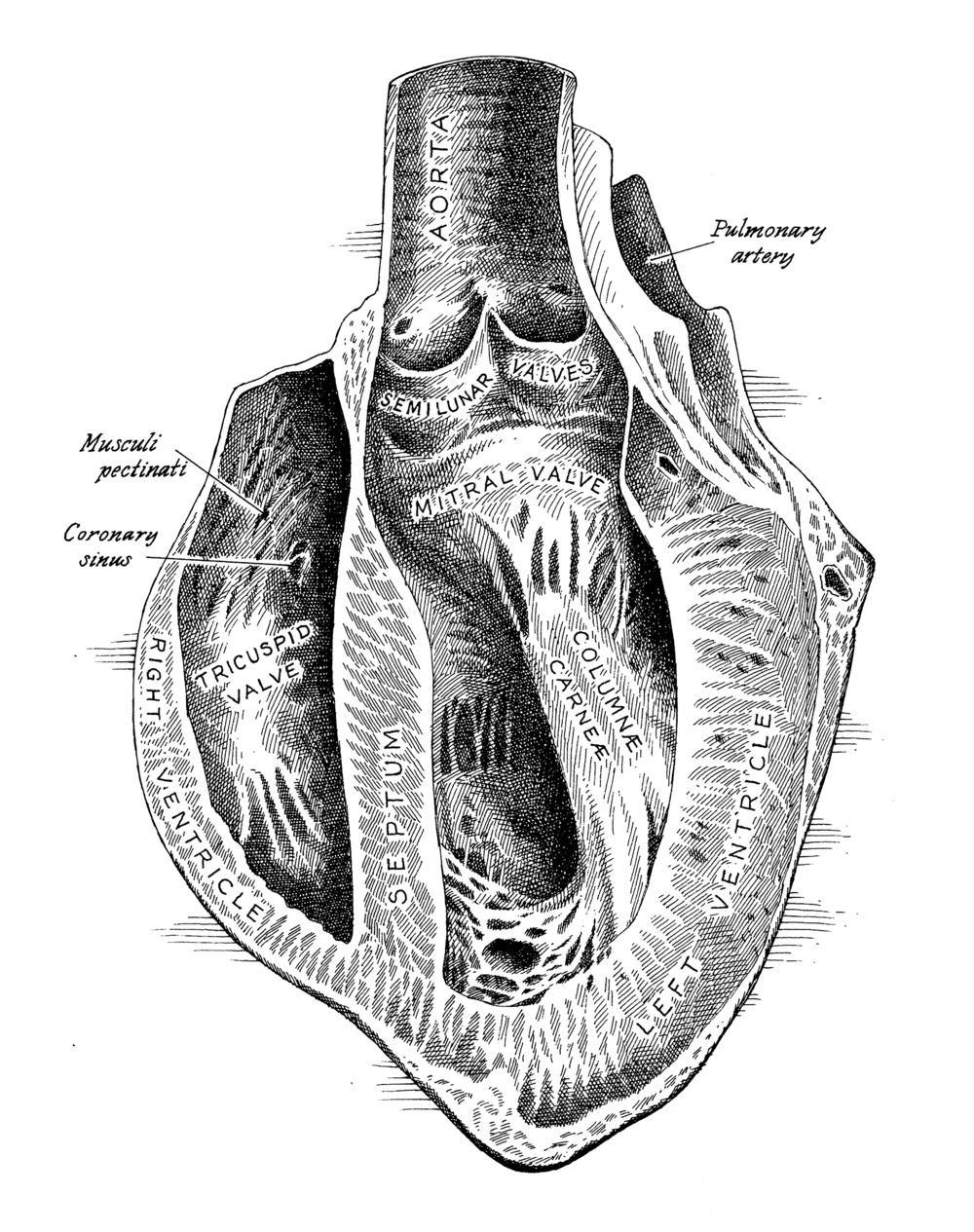 heart cutaway.jpg