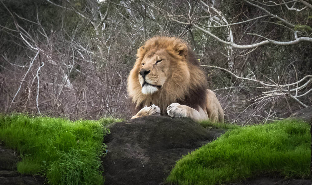 At the Animal Kingdom, the majestic male lion.