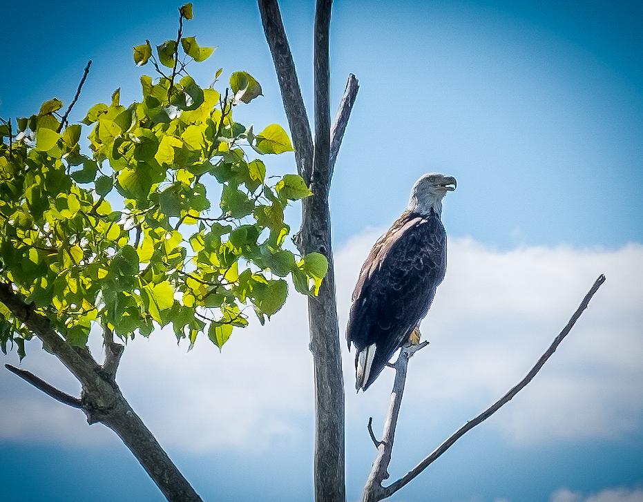 Jamestown Island eagle. Sorry, Ben, but way better than a turkey!