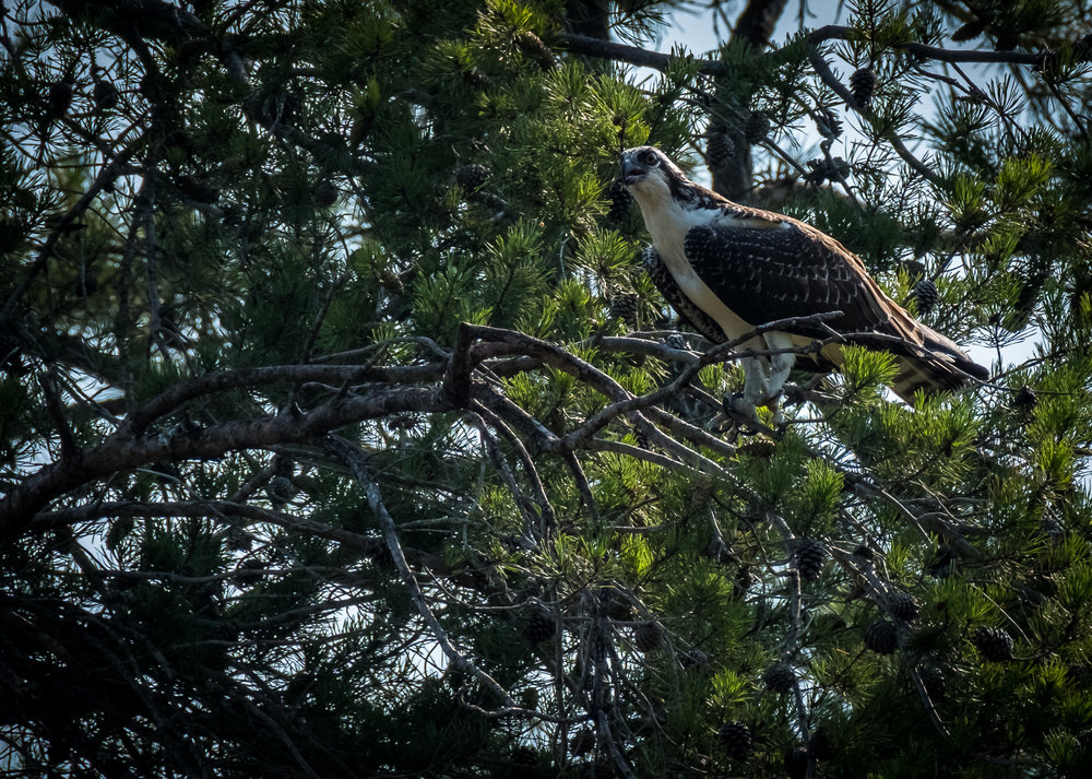 Nice Osprey, about 150 feet was as close as one got