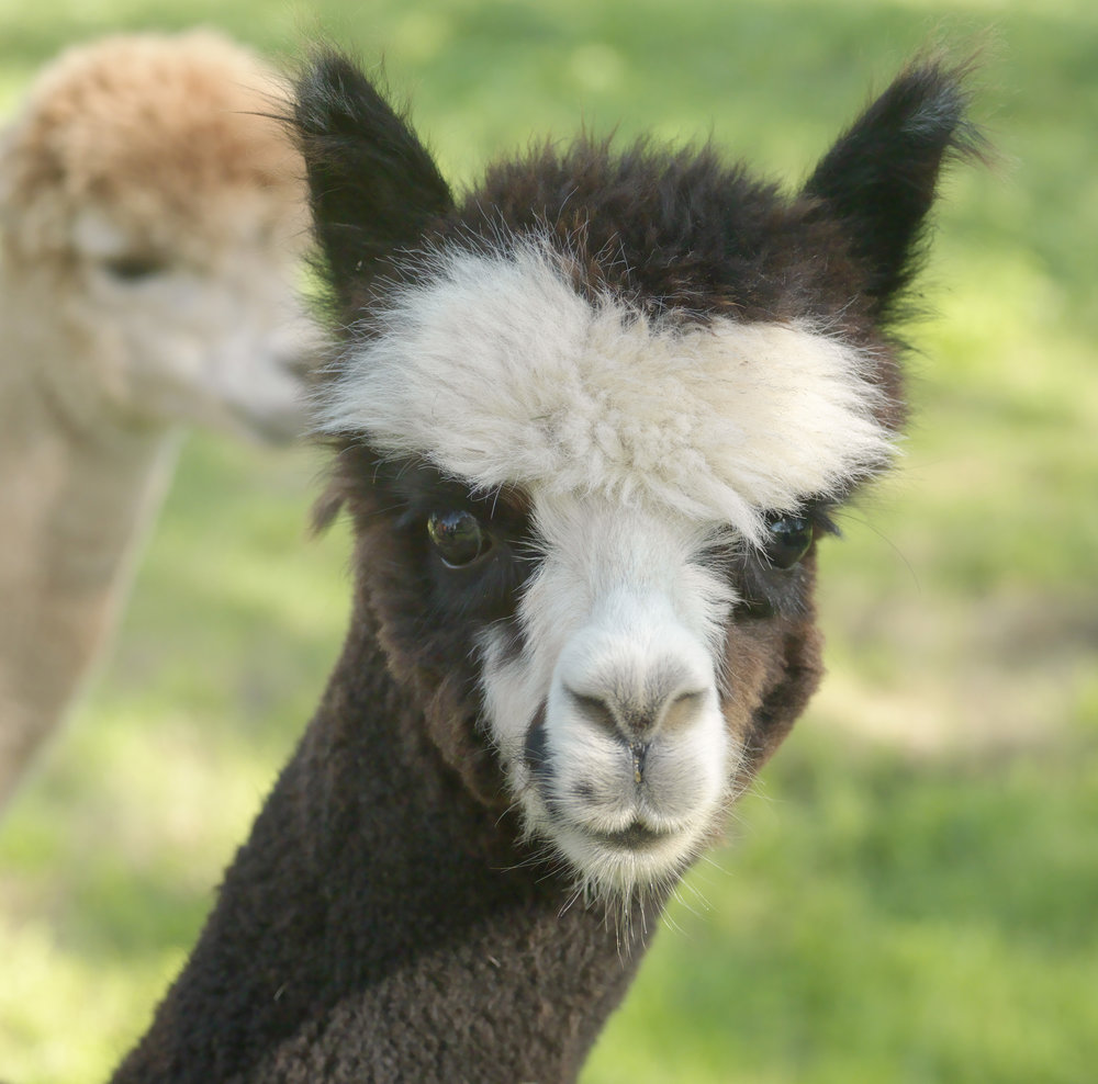 Black & White Alpaca