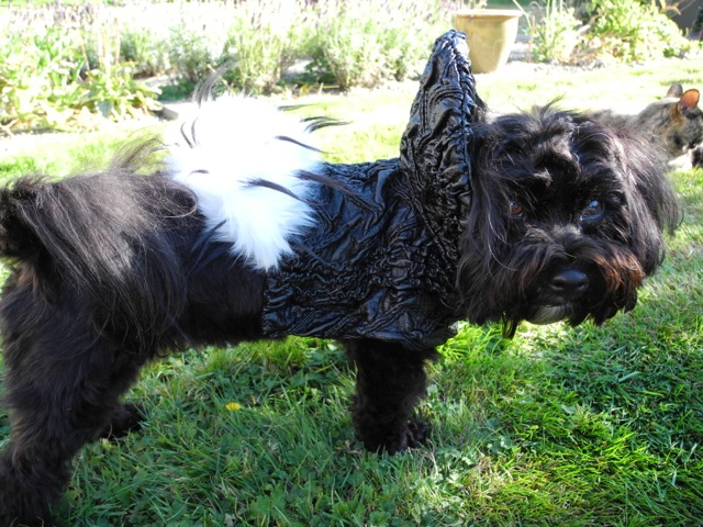 Kokomo showing off the latest dog jacket from Rococo Dog.