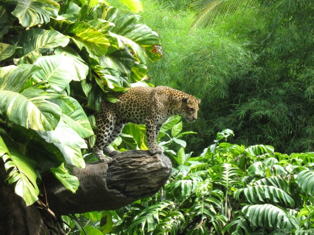 Leopard at Bali Safari