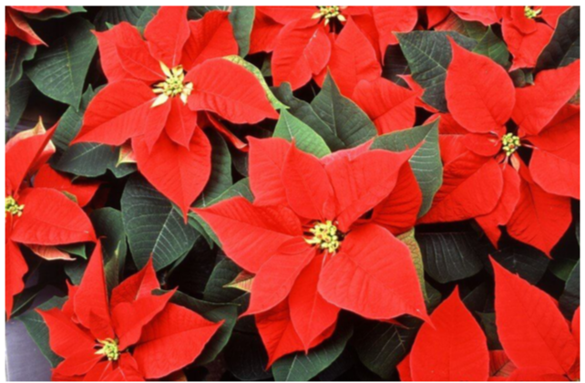 Red, White or Pink Poinsettias - $12 per plant