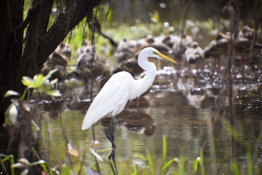Egret-in-Kakadu-national-park-Australia.jpg